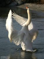 http://libre-de-lire.cowblog.fr/images/cygnetuberculechbe7g.jpg